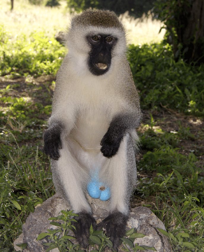 A small monkey with white fur and black skin and electric-blue colored testicles.
