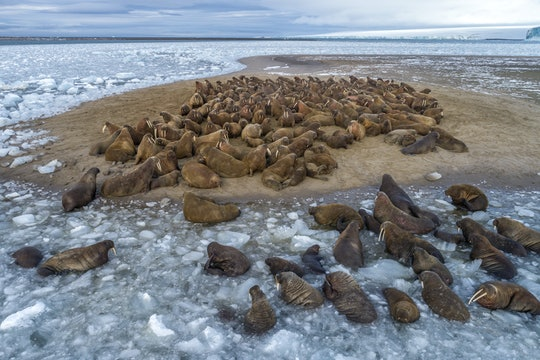 A group of walruses haul out on to an island surrounded by ice