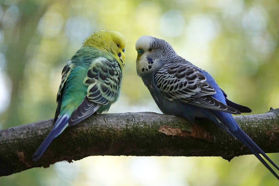Two budgie parakeets on a branch