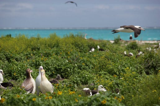 Albatrosses on the Northwest Hawaiian Islands National Monument