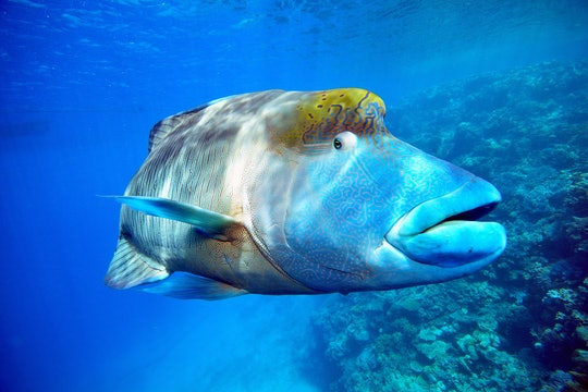 a large wrasse swimming in the ocean