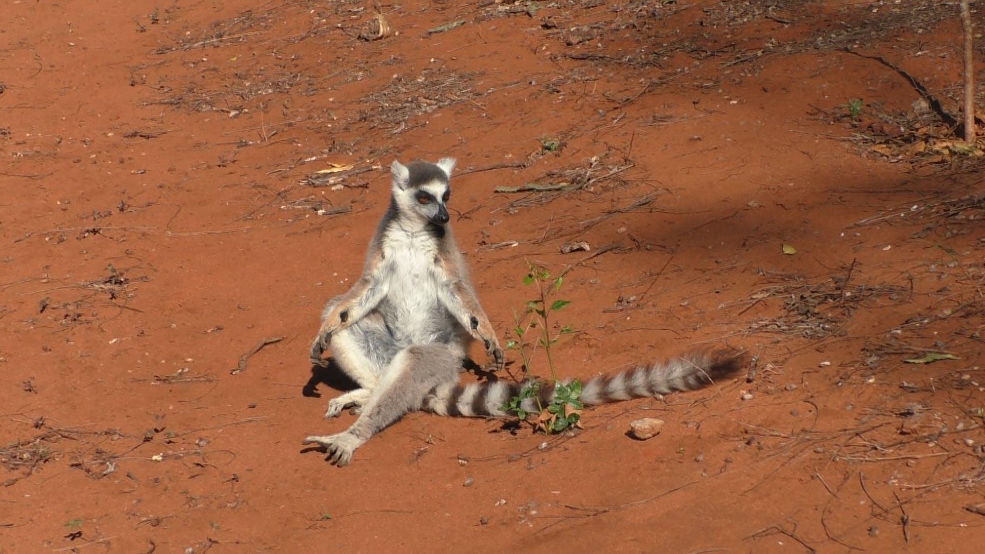 Male ring-tailed lemur showing antebrachial (wrist) glands