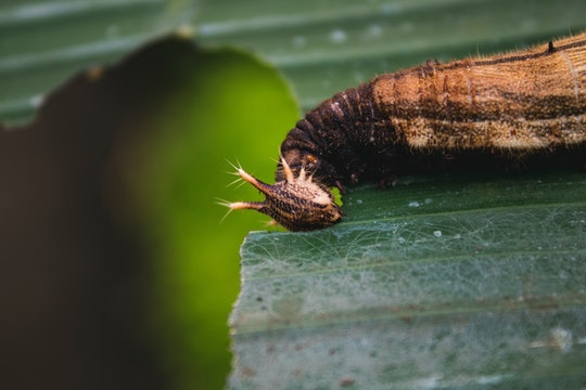 a caterpillar eating the leaf it is resting on