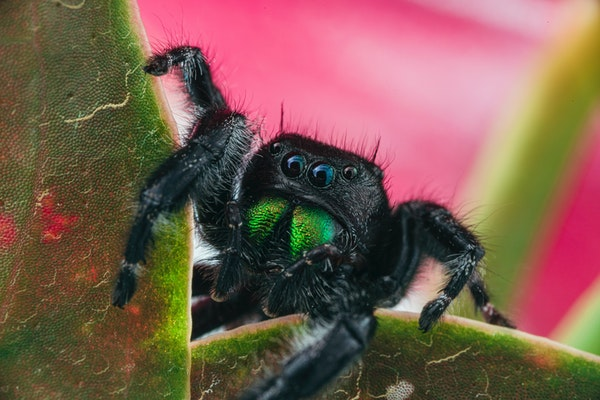 a black male jumping spider peering over some leaves