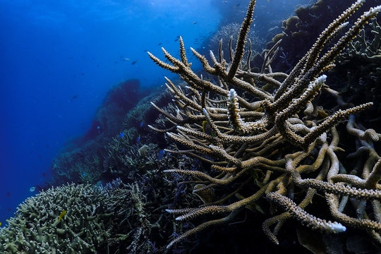 a long branch coral in on a reef in blue water