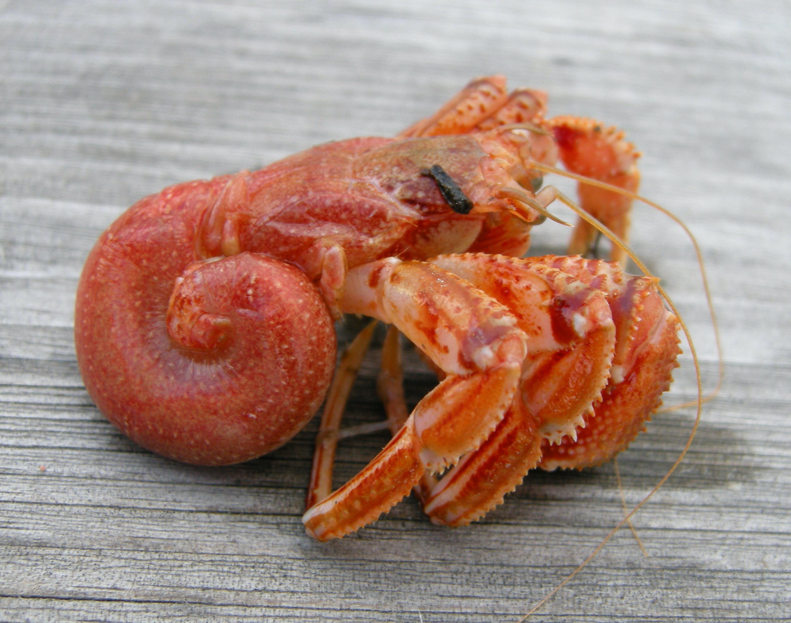 shell-less hermit crab