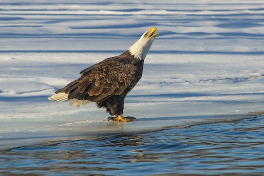 A single bald eagle sits on the ice next to an open body of water in the winter
