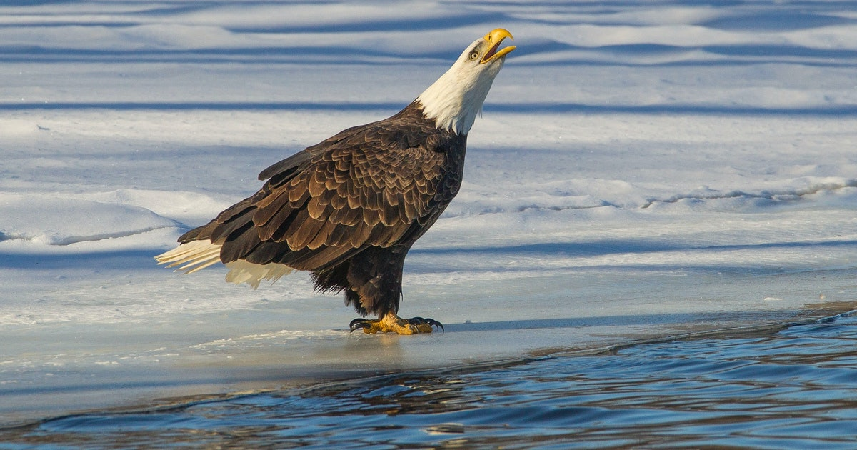 There's something in the water, and it's killing America's national bird