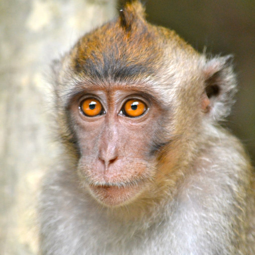 A small macaque with bright orange eyes and pursed lips.