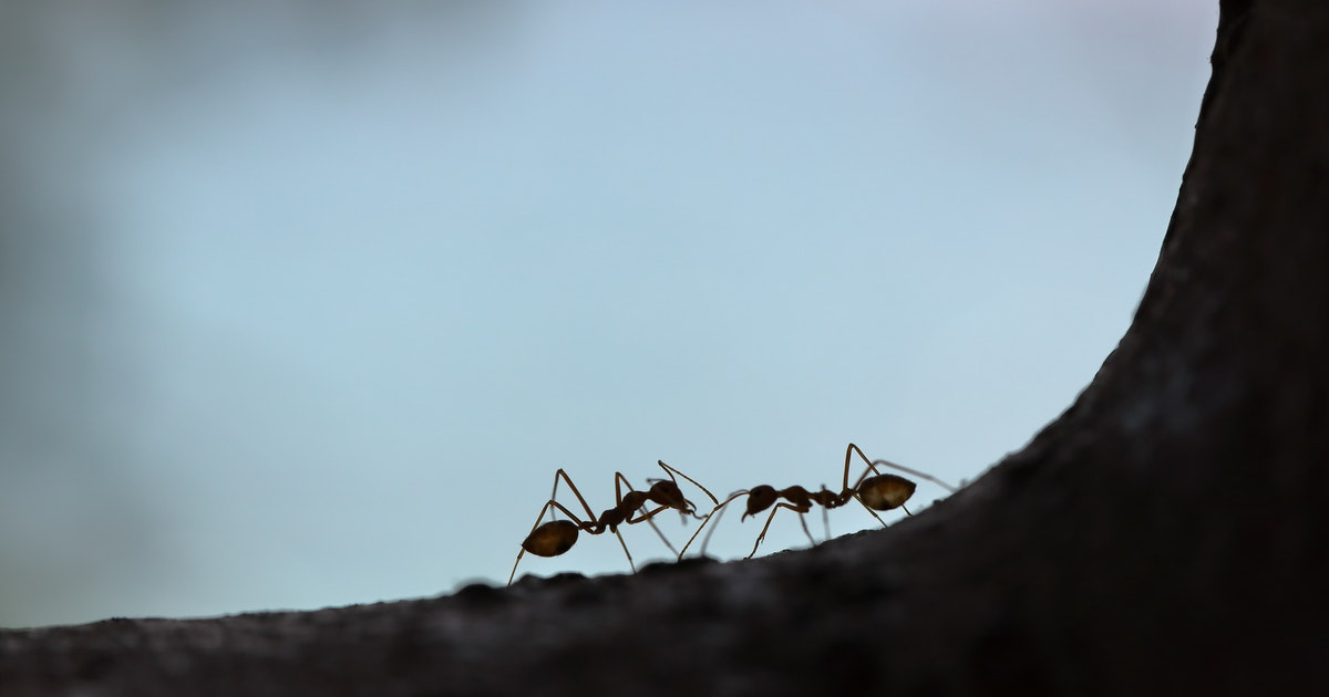 The gypsy ant is dead! Long live the itiner-ant!