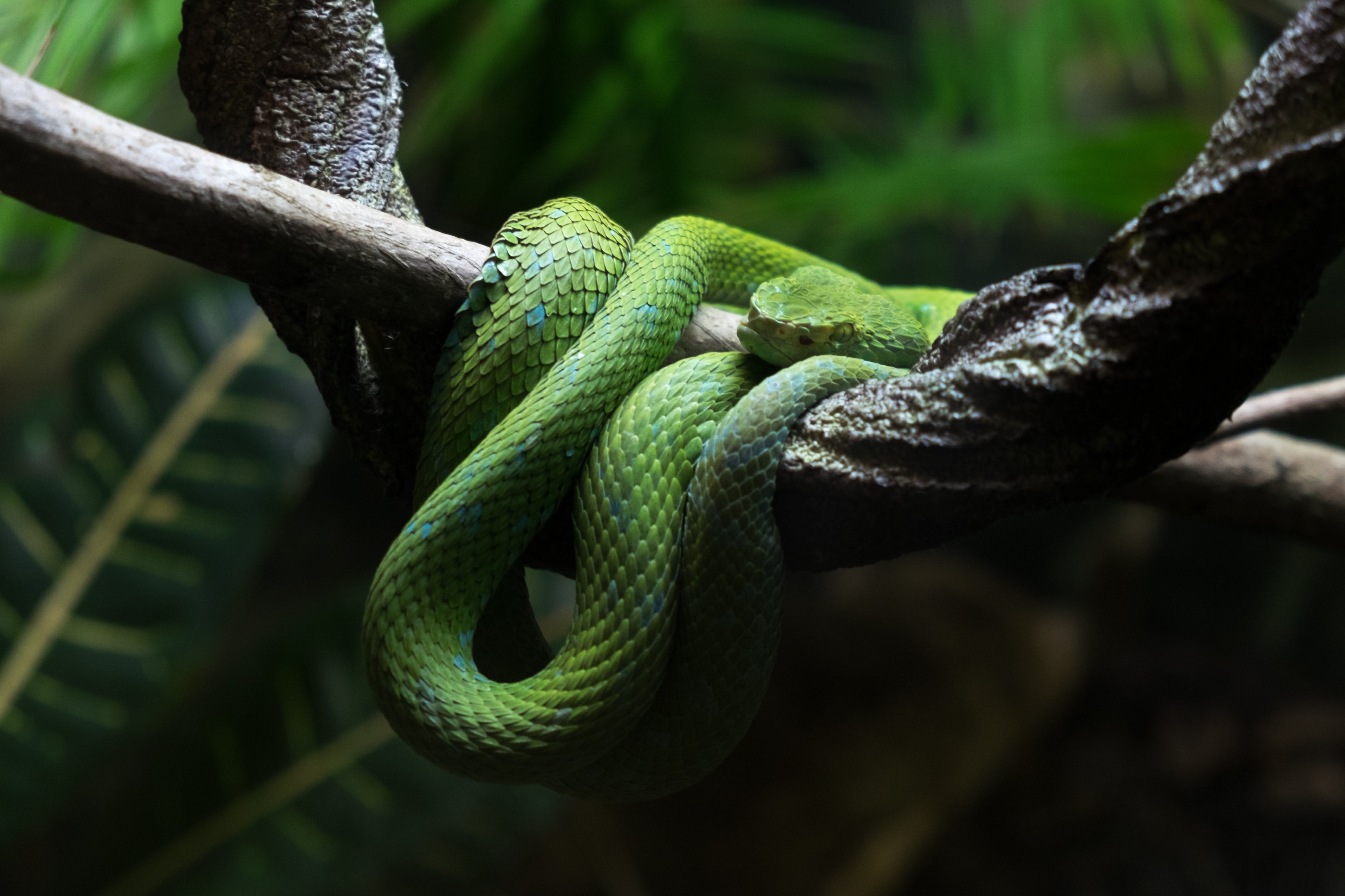 a green snake curled up in a tree