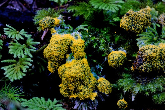 a bright yellow slime mold surrounded by leaves