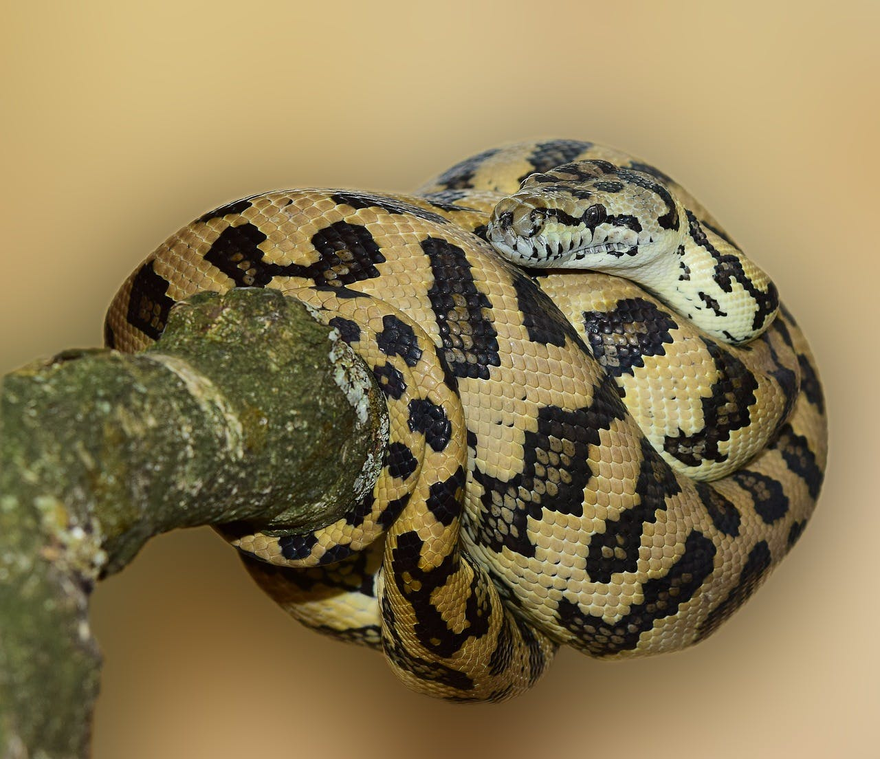 a black and yellow patterned python