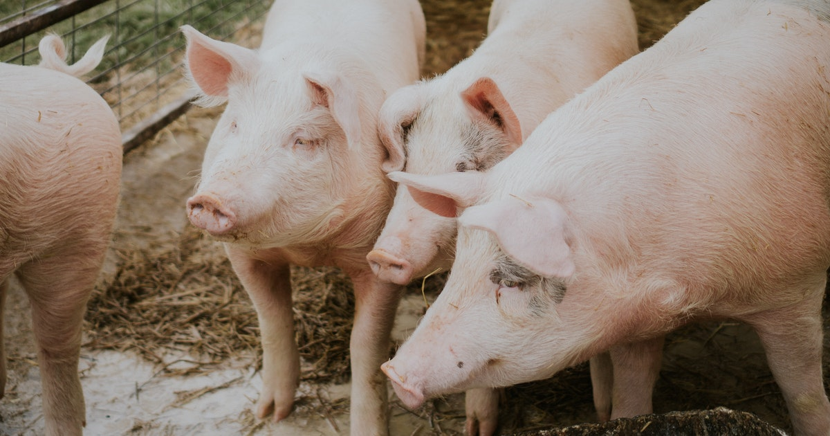 Farmers are giving their livestock probiotics to fight antibiotic resistance