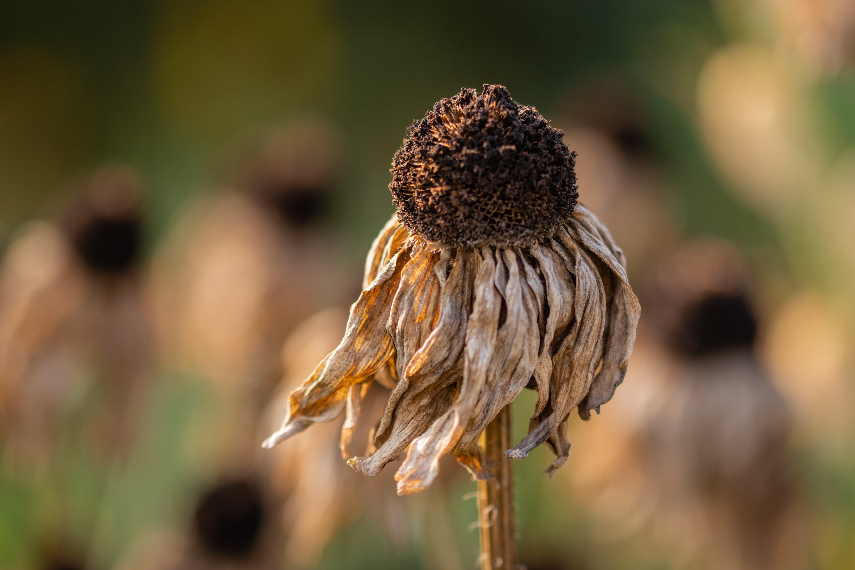 a dry, dead flower