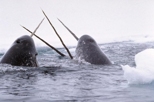 A pod of narwhals emerging from the ice
