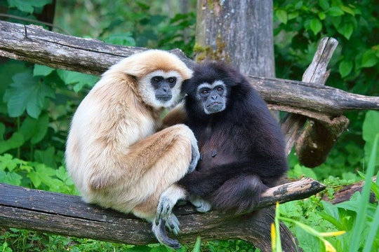 a white and a black gibbon