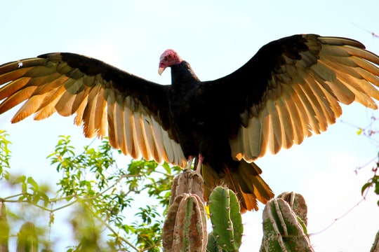 A turkey vulture spreading its wings