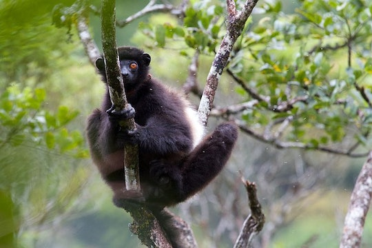 a dark brown lemur perched on a tree branch