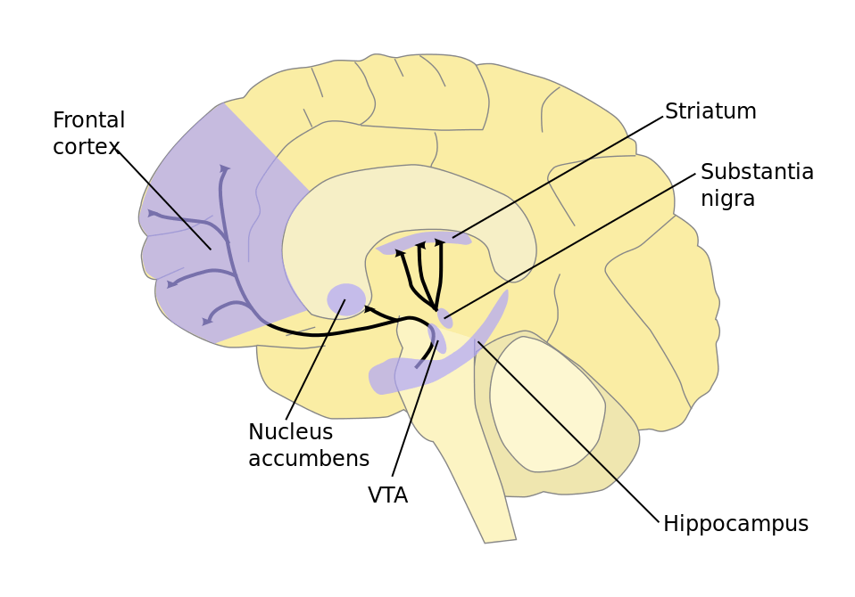 A diagram of a brain in profile showing the location of the Substantia nigra