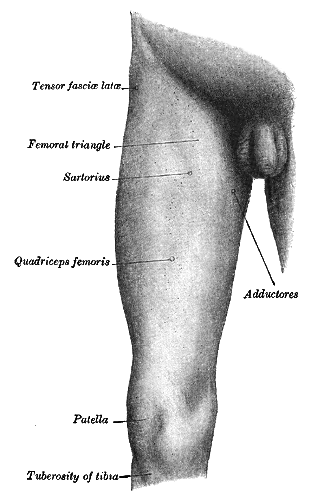 The front of the right thigh of a human, with major muscle groups indicated, including the sartorius on the inside of the leg towards the groin