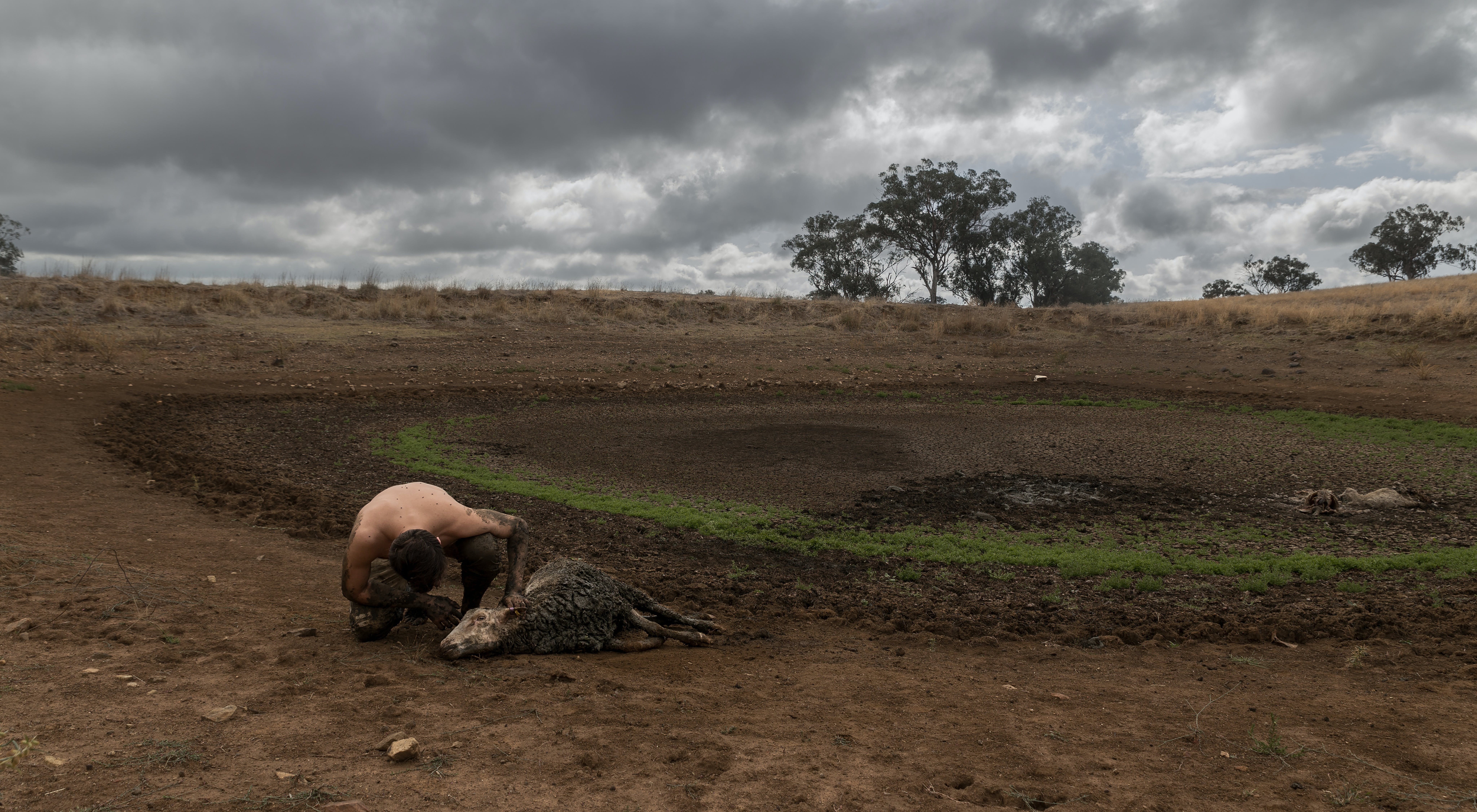 A man examines a sick sheep laying by a dried up pond (the sheep survives).