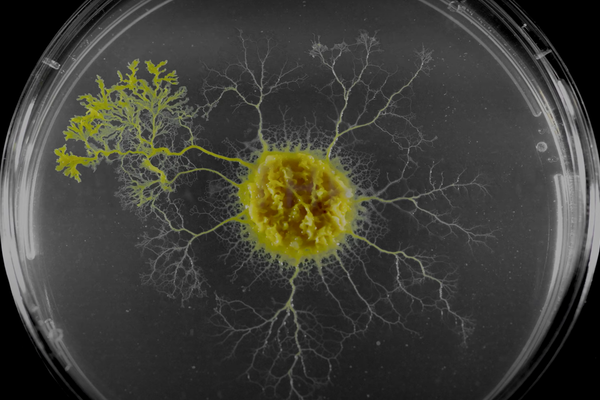 A slime mold in a petri dish
