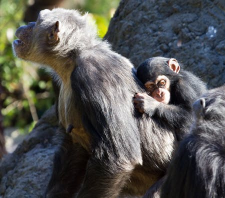 A chimpanzee and her baby