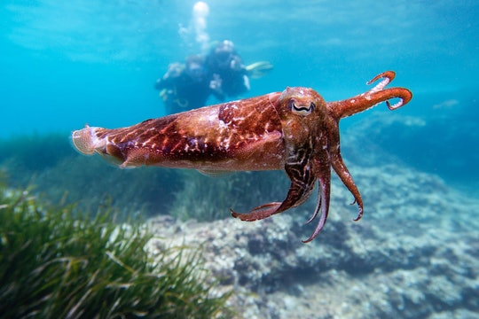 a red cuttlefish (type of squid) underwater