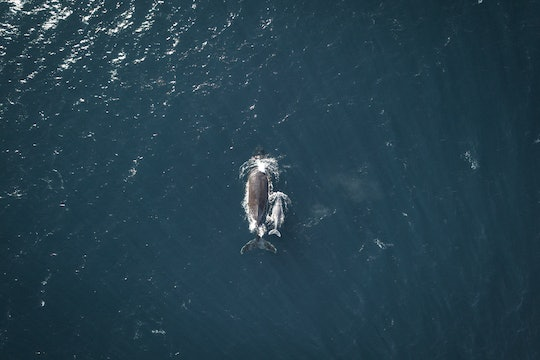 a photo of a whale and her calf from the air