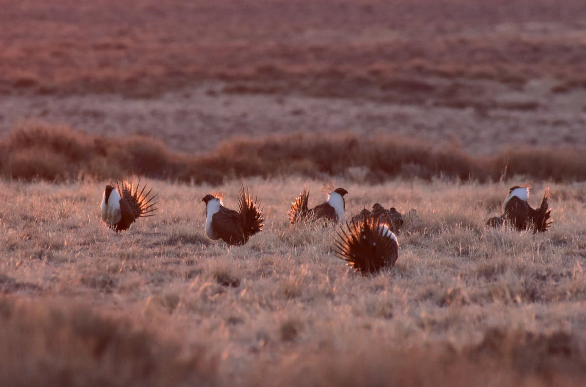 a group of sage grouse birds standing in a field of sagebrush