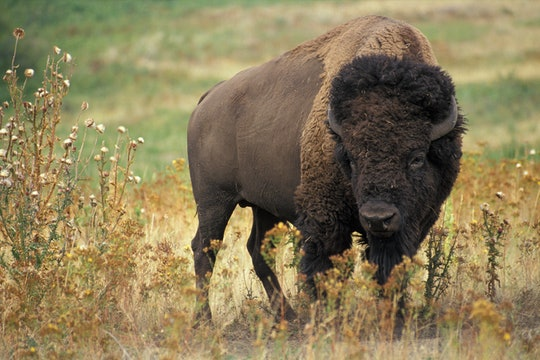 A brown American bison standing in a field