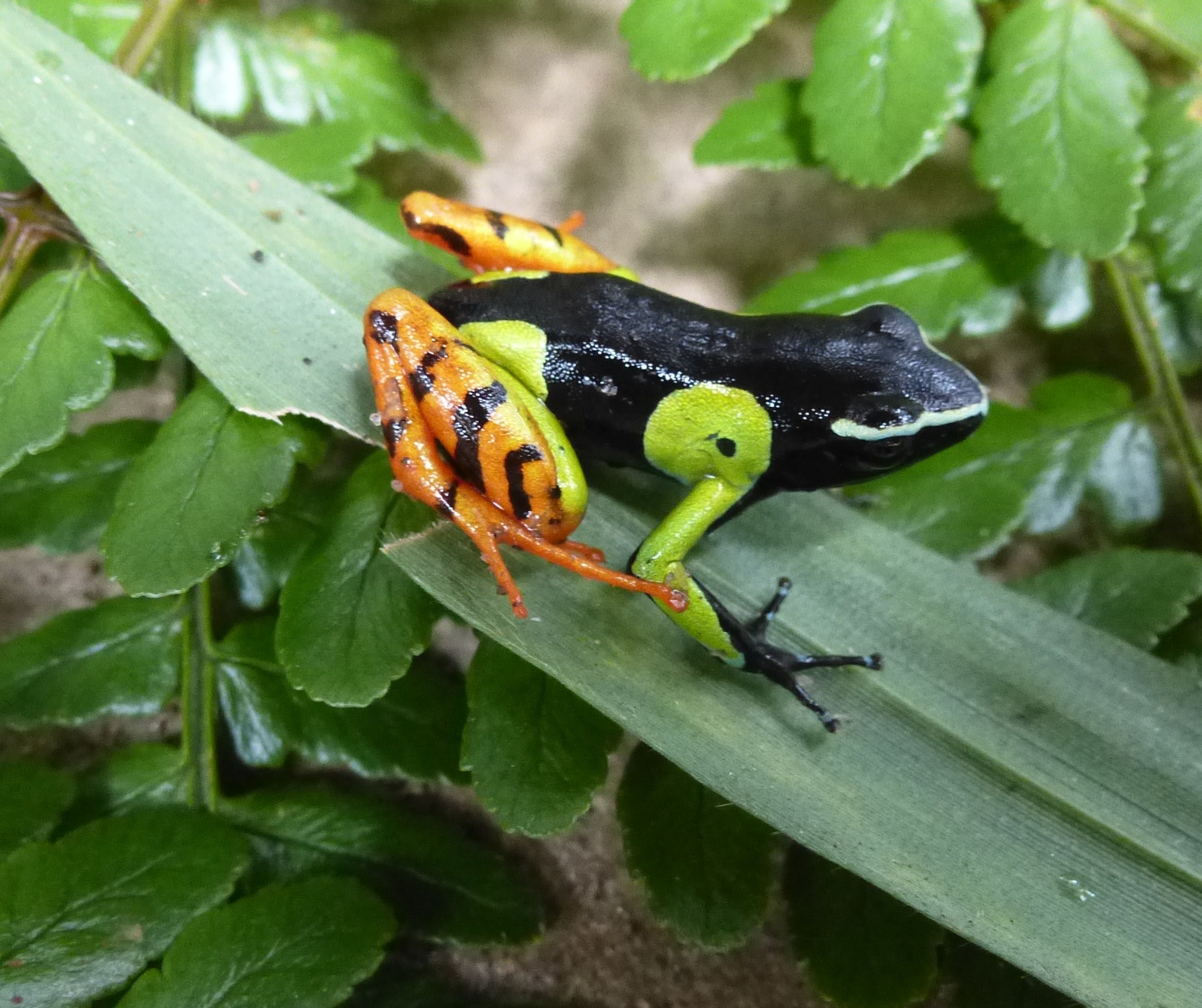 a bright orange, green, and black tree frog sitting on leaves