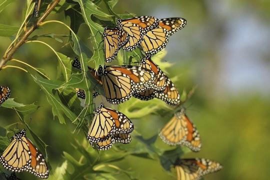 Roosting Monarch Butterflies