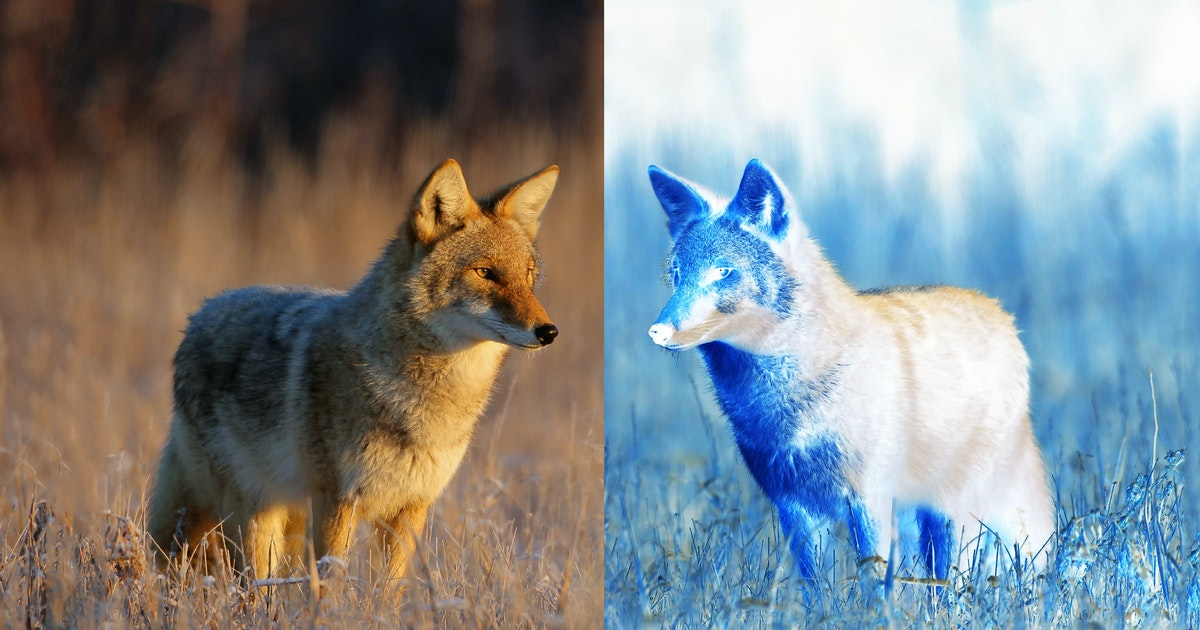 'Hyper urban' coyote genomes are growing apart from their city and rural cousins