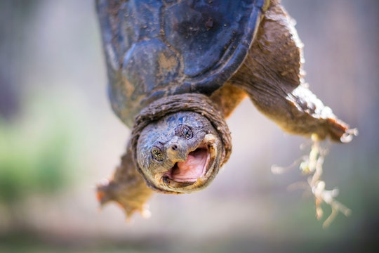 snapping turtle with its mouth open