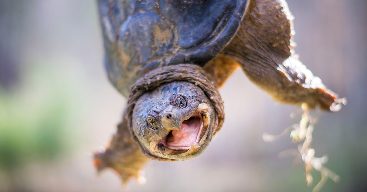 Eastern snapping turtles use culverts to hunt migratory herring
