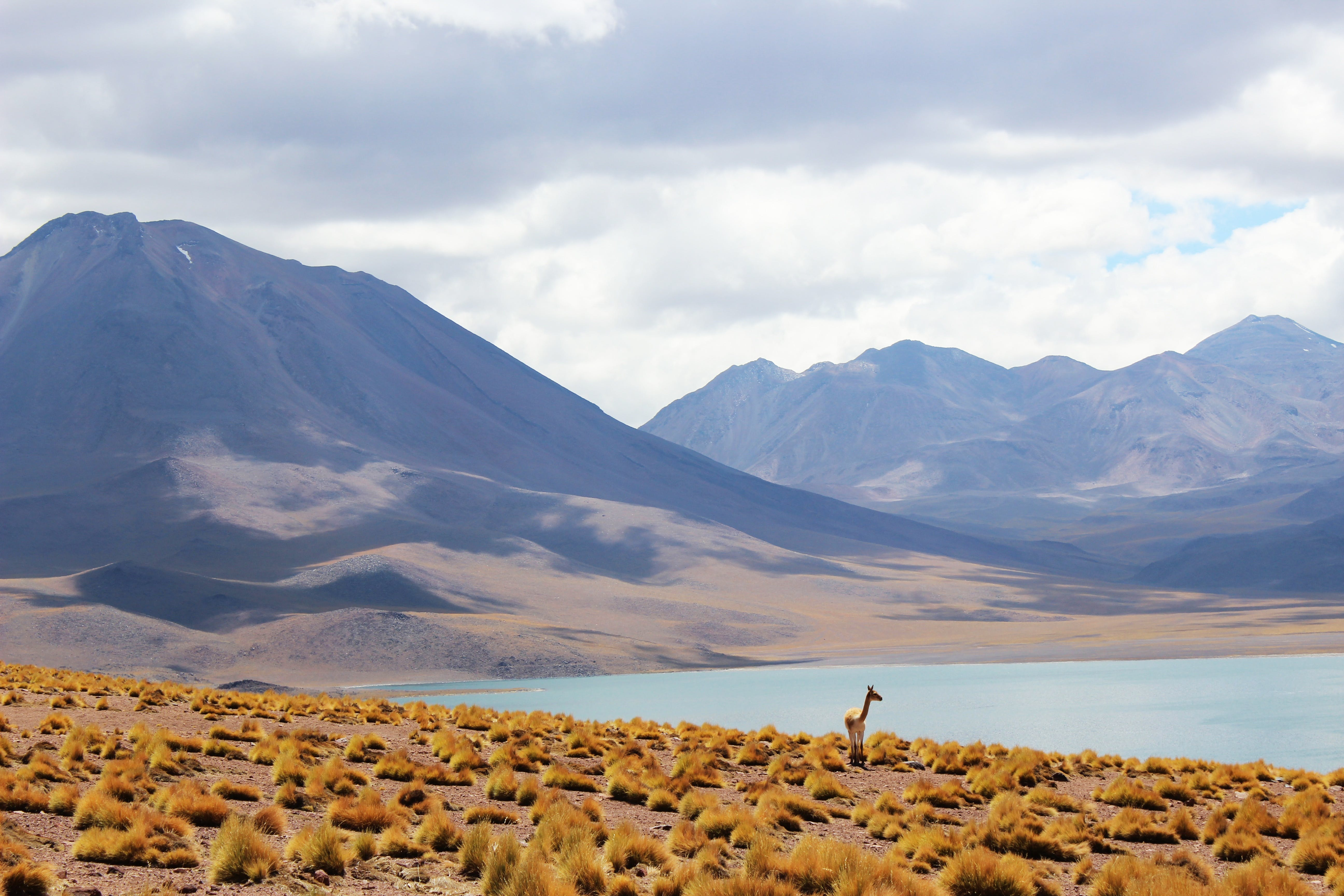A small deer or antelope stands on a shrubby hillside in the Atacama Desert, next to a lake.