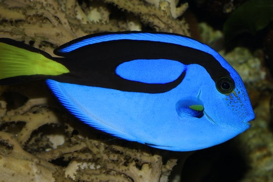 Image of a Blue tang, the star of Finding Dory