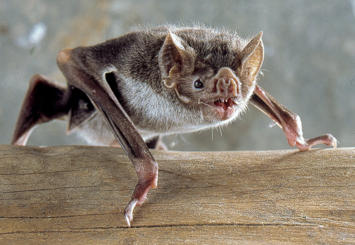 vampire bat snarling while sitting on wood log