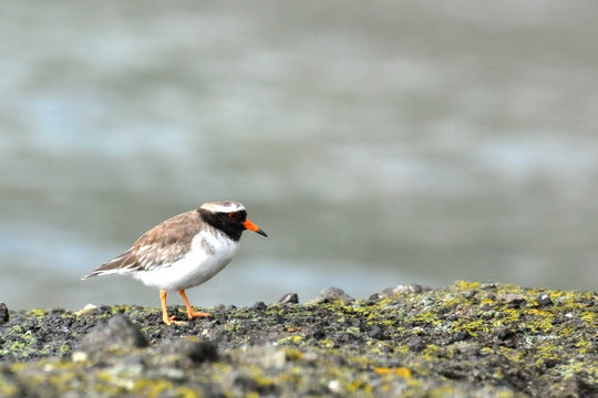 a small white and brown bird with a black head and orange beak called a plover