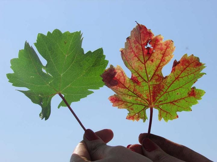 two leaves side by side, one is green and one has red spots