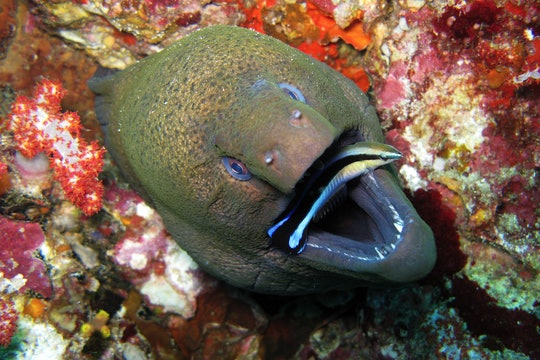 A cleaner fish cleans a giant moray eel