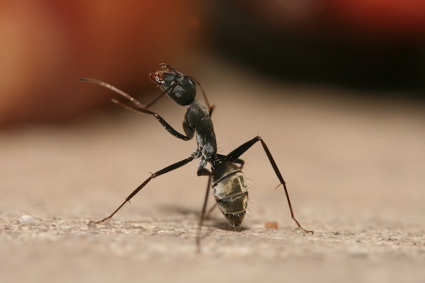 Carpenter ant cleaning its antennae