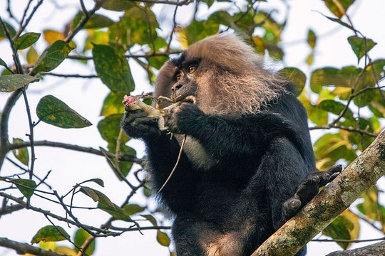 a black monkey with a white head feeding on a lizard