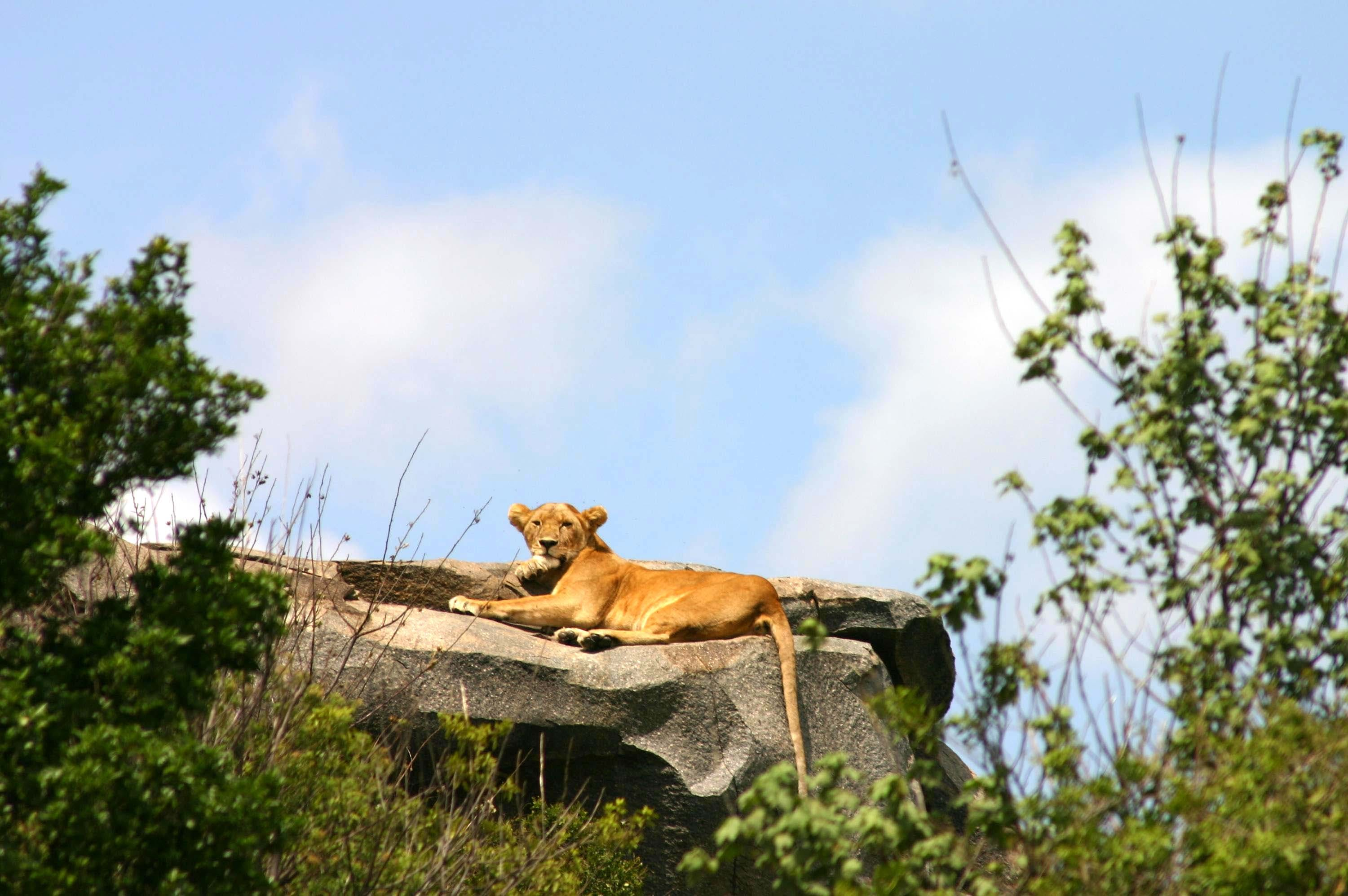 A female lion laying on a rock in the sun in the Serengeti