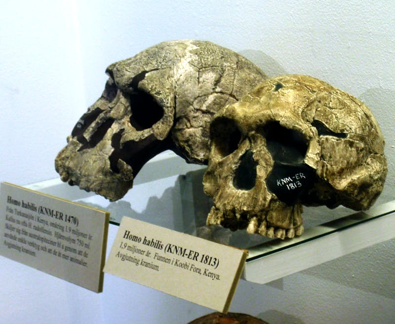 two skulls in a museum