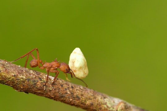 an ant carrying a large white object that looks like a rock