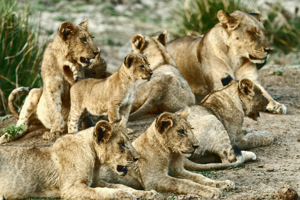 A pride of lions with a few cubs all staring menacingly at something off camera.