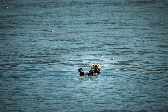 A sea otter swimming on its back